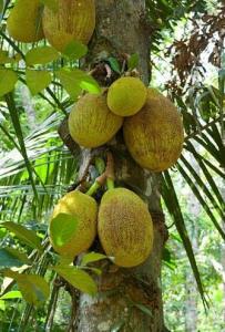 breadfruit-tree-203x300